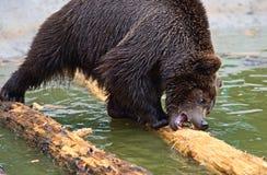 Bruine beren in de Karpaten. stock fotografie