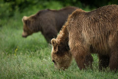 Bruine beren die, paar van beren eten Stock Fotografie