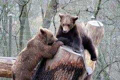 Bruine beren die, Skansen Park, Stockhol spelen Stock Afbeeldingen