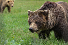 Bruine beren in het hout royalty-vrije stock fotografie