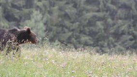 Bruine beren, Transsylvanië, Roemenië stock videobeelden