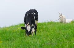 Bruine bevlekte stier onder vers groen gras Royalty-vrije Stock Foto