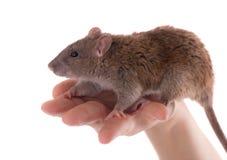 Bruine binnenlandse rat stock fotografie