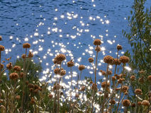 Bruine bloemen op shininigoverzees Stock Foto