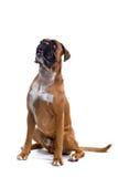 Bruine bokser Royalty-vrije Stock Foto's