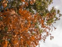 Bruine boombladeren aan het eind van zijn leven royalty-vrije stock foto's