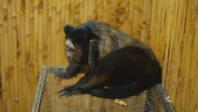 Bruine capuchin zitting in een kooi stock footage