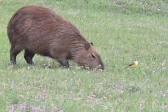 Bruine capybara en gele vogel royalty-vrije stock afbeeldingen