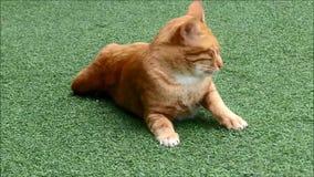 Bruine Cat Relaxing die en zich op het Groene Gras uitrekken geeuwen stock videobeelden