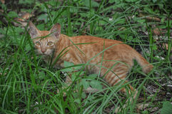 Bruine Cat Walking Stock Foto
