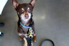 Bruine Chihuahua die en omhoog Camera zitten bekijken Royalty-vrije Stock Afbeelding