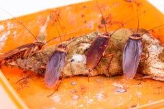 Bruine Cookroach Stock Afbeelding
