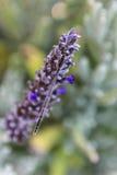 Bruine damselflies op Lavendelinstallatie Stock Foto