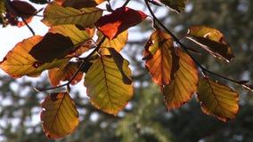 Bruine de herfstbladeren op een boom stock videobeelden