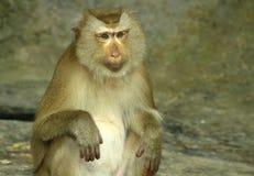 Bruine de kleur van de aap Stock Foto's