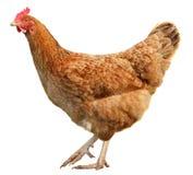 Bruine die kip op witte achtergrond wordt geïsoleerd Stock Afbeeldingen