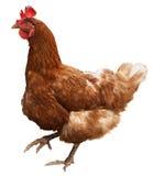 Bruine die kip op witte achtergrond wordt geïsoleerd royalty-vrije stock fotografie