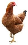 Bruine die kip op witte achtergrond wordt geïsoleerd stock afbeelding