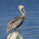 Bruine die Pelikaan op een dok wordt die - Florida opstapelen neergestreken zich stock foto