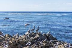 Bruine die Pelikanen (Pelecanus-occidentalis) op een rots worden neergestreken Royalty-vrije Stock Afbeeldingen