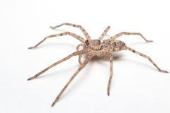 Bruine die spin op wit close-up wordt geïsoleerd als achtergrond Stock Afbeeldingen