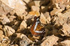 Bruine die vlinder op een rots wordt neergestreken Royalty-vrije Stock Foto