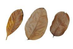 Bruine droge bladeren geplaatst die op witte achtergrond worden geïsoleerd Stock Foto's