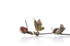 Bruine droog nam bloem met blad toe Het schot van de studio dat op wit wordt geïsoleerda Royalty-vrije Stock Afbeeldingen