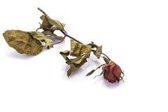 Bruine droog nam bloem met blad toe Het schot van de studio dat op wit wordt geïsoleerda Stock Foto