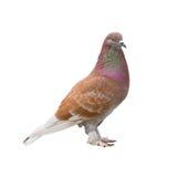 Bruine duif Royalty-vrije Stock Foto's