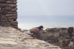 Bruine duif op de achtergrond van de muur van dezelfde kleur van de vesting Gibralfaro, Malaga royalty-vrije stock afbeeldingen