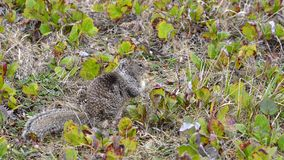 Bruine Eekhoorn Stock Foto's