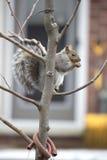 Bruine eekhoorn Stock Foto