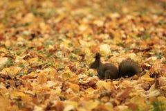Bruine eekhoorn in de herfstpark royalty-vrije stock foto's