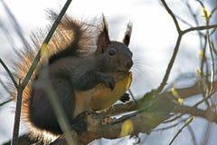 Bruine eekhoorn die in de boom eten Royalty-vrije Stock Fotografie
