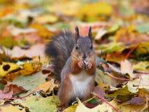 Bruine eekhoorn in het bos Royalty-vrije Stock Afbeelding
