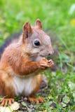 Bruine eekhoorn met noten Stock Foto