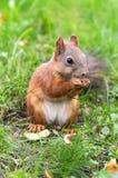 Bruine eekhoorn met noten Royalty-vrije Stock Afbeelding