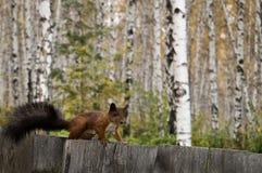 Bruine eekhoorn op een omheining Stock Foto