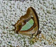 Bruine en groene vlinder die zich op kattenzand en het zuigen liqui bevinden Stock Foto's