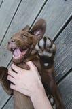 Bruine en het puppyhond die van Labrador liggen spelen stock foto