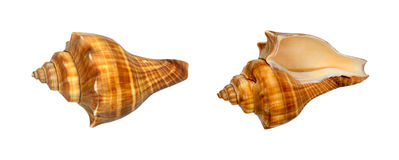 Bruine en oranje Overzeese shells die op wit wordt geïsoleerd Royalty-vrije Stock Foto