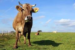 Bruine en Simmental koeien Stock Afbeeldingen