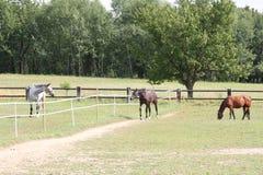 Bruine en vlek-Grijze die Paarden op een Weide, Tsjechische Republiek, Europa worden geschermd Stock Fotografie