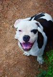 Bruine en witte Amerikaanse kuil bull terrier Royalty-vrije Stock Foto's