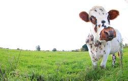 Bruine en witte bevlekte koe, ras Normande, Frankrijk royalty-vrije stock foto