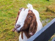 Bruine en witte geit Royalty-vrije Stock Afbeeldingen