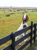 Bruine en witte geit Royalty-vrije Stock Afbeelding