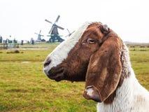 Bruine en witte geit met windmolens Royalty-vrije Stock Afbeelding