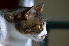 Bruine en witte kat Stock Fotografie